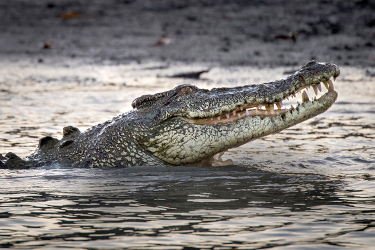 Croc in the NT ponant