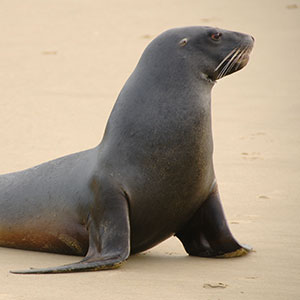 THE FASCINATING LIFE OF NZ SEA LIONS